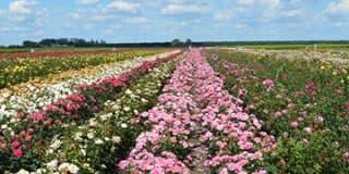 A szőregi rózsatő