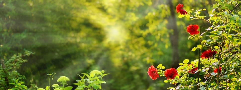 szőregi rózsa