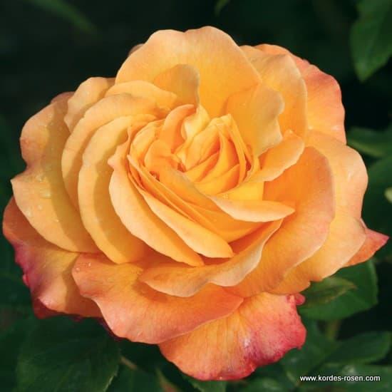 Adolf Horstmann® - Teahibrid rózsa