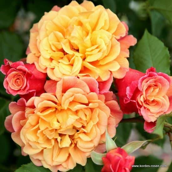 Aloha – Kordes Rose Aloha® - Futórózsa