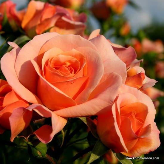 Aprikola® - Floribunda rózsa