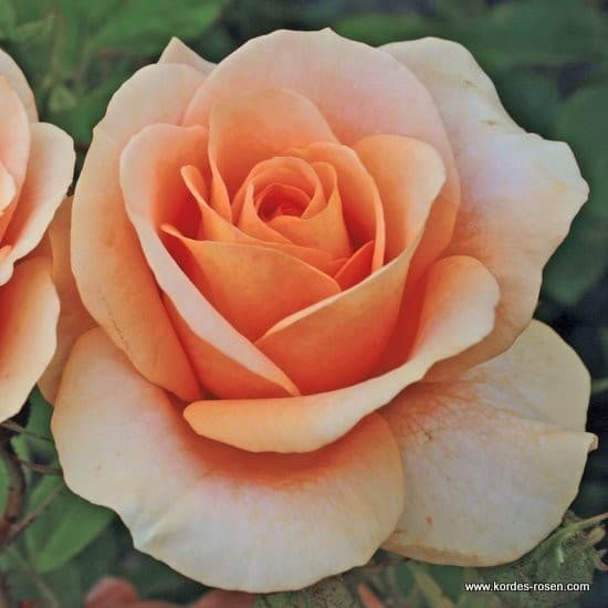 Bengali® - Floribunda rózsa