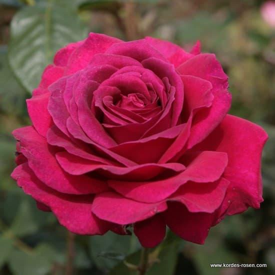 Big Purple® - Teahibrid rózsa