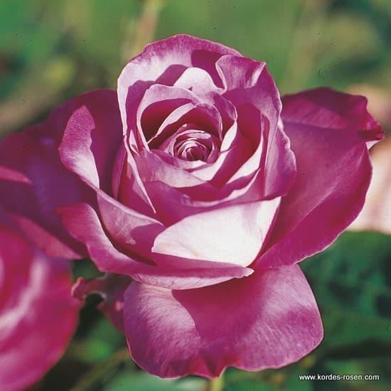 Blue River® - Teahibrid rózsa