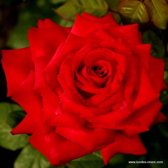 Burgund 81® - Teahibrid rózsa