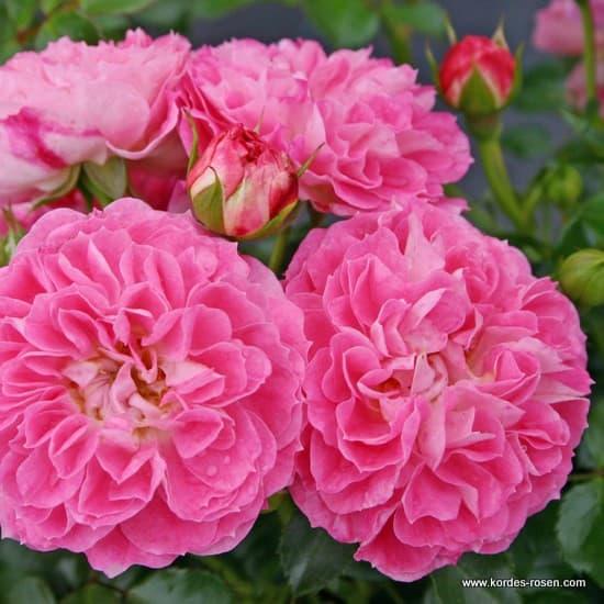 Charmant® - Miniatűr rózsa