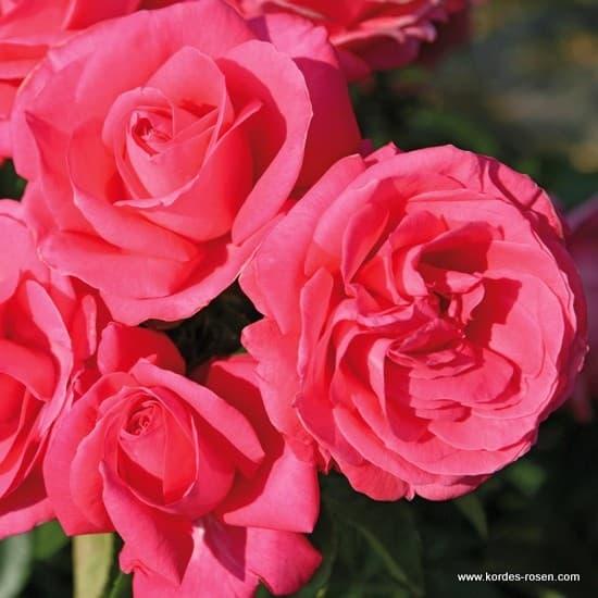 Cherry Lady® - Teahibrid rózsa