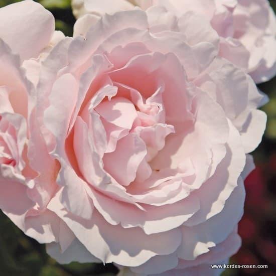 Constanze Mozart® - Floribunda rózsa