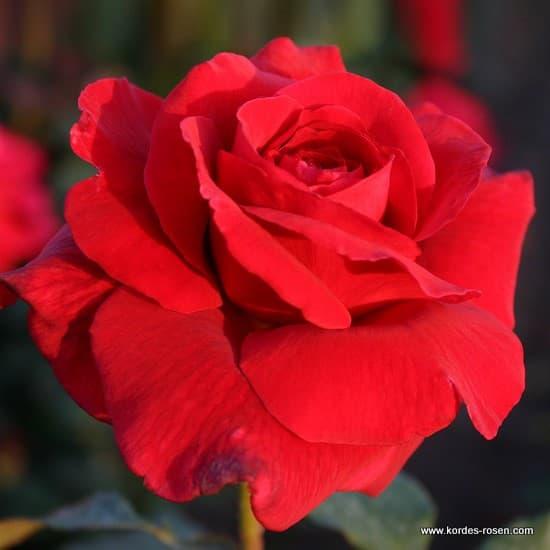 Duftzauber 84® - Teahibrid rózsa