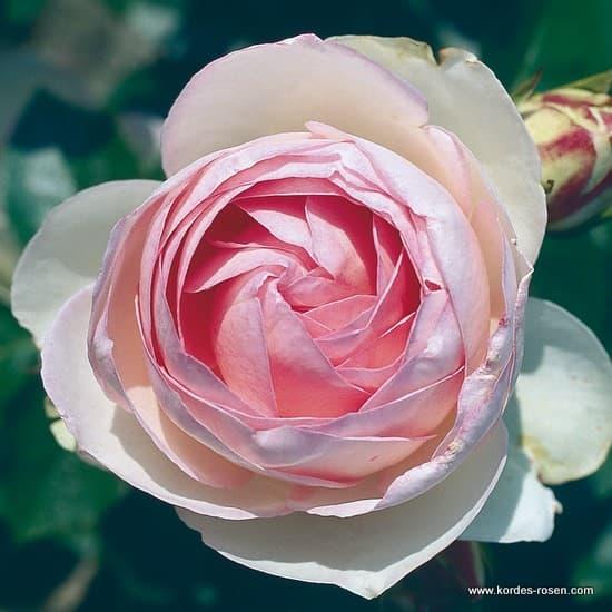 Eden Rose 85® - Bokorrózsa
