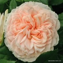 www.kordes-roses.com