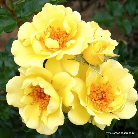 Gelber Engel® - Floribunda rózsa