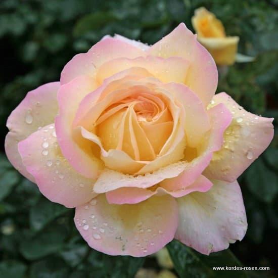 Gloria Dei - Teahibrid rózsa