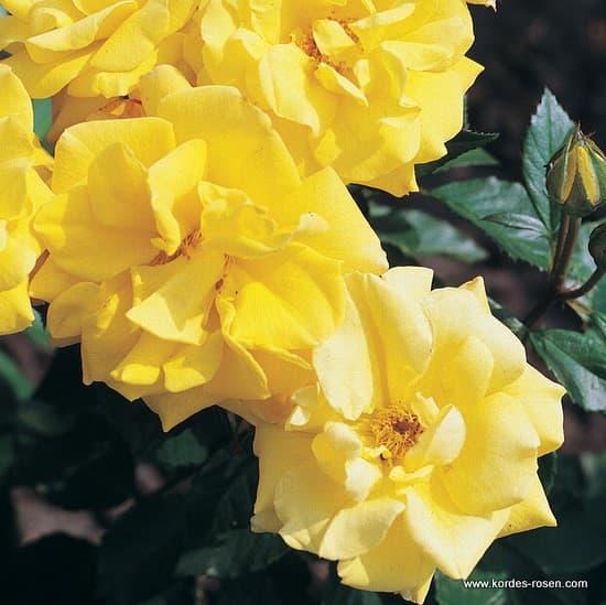 Goldmarie 82® - Floribunda rózsa