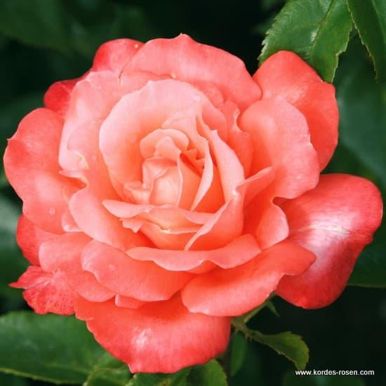Hamburger Deern® - Teahibrid rózsa