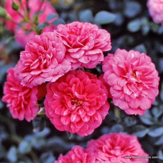 Knirps® - Talajtakaró rózsa