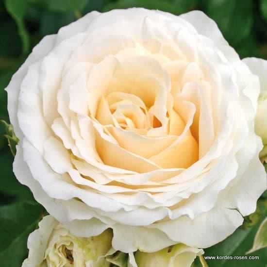 KOSMOS® - Floribunda rózsa