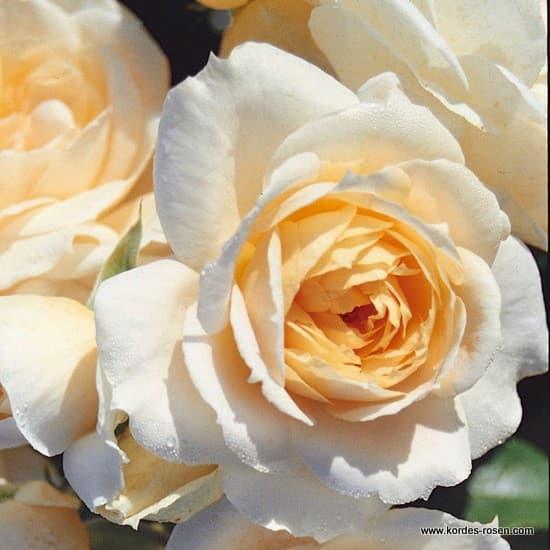 Lions-Rose® - Floribunda rózsa