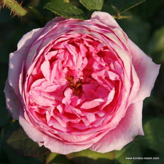 Madame Boll - Történelmi rózsa
