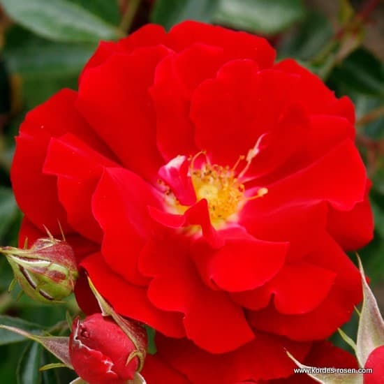 Mainaufeuer® - Talajtakaró rózsa