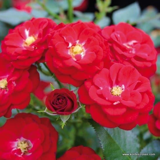 Mandy® - Miniatűr rózsa