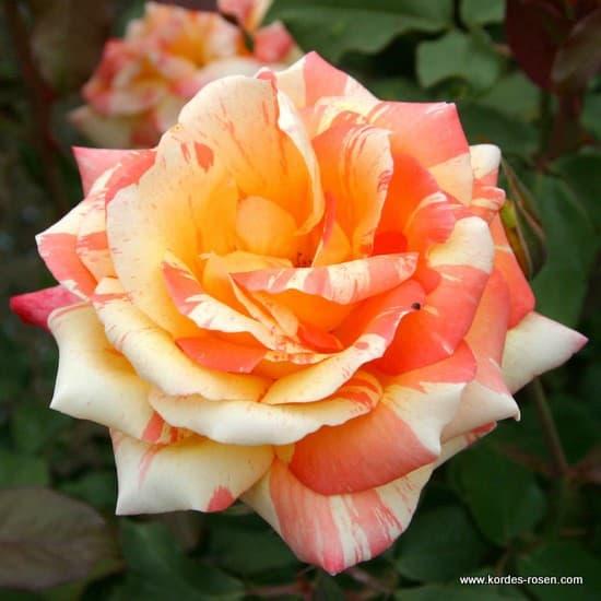 Marvelle® - Teahibrid rózsa