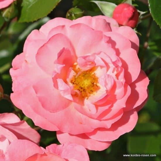 Mein schöner Garten® - Bokorrózsa