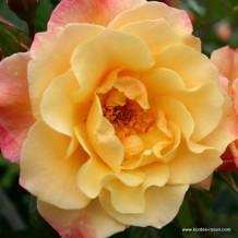 moonlight-kordes-rose-moonlight_kordes_01_1