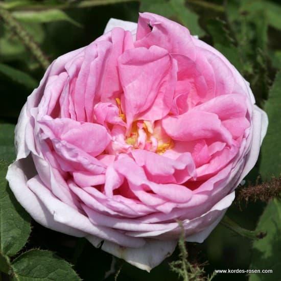 Muscosa - Történelmi rózsa