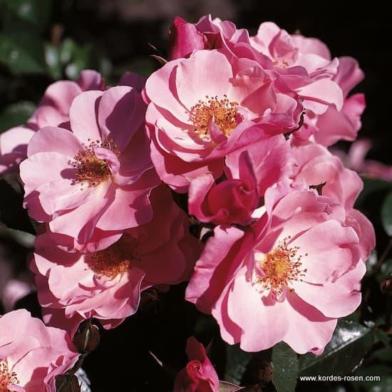 NDR 1 Radio Niedersachsen® - Floribunda rózsa