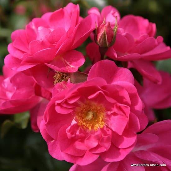 Neon® - Floribunda rózsa