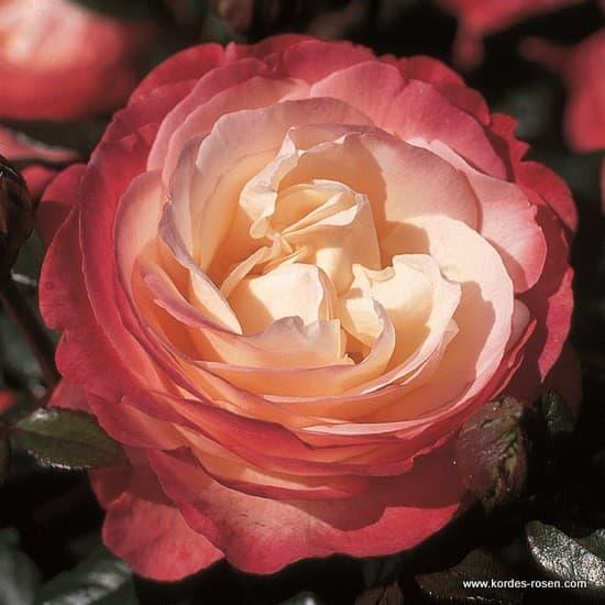 Nostalgie® - Teahibrid rózsa