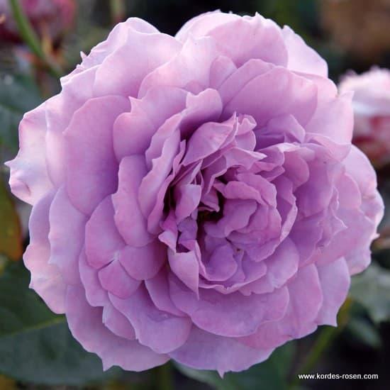 Novalis® - Floribunda rózsa