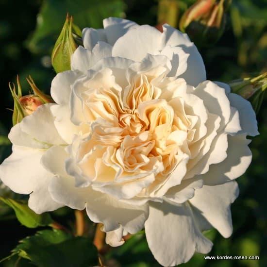 Petticoat® - Floribunda rózsa