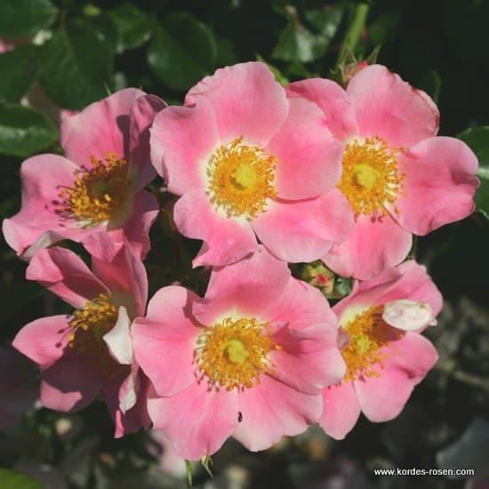 Pink Bassino® - Talajtakaró rózsa