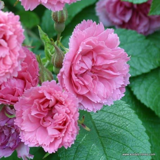 Pink Grootendorst - Parkrózsa