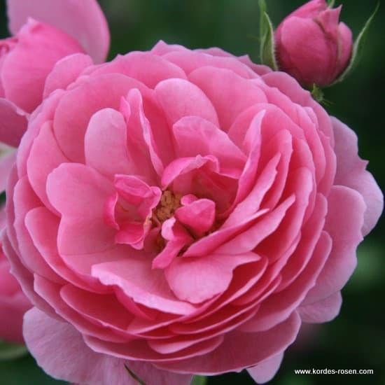 Pomponella® - Floribunda rózsa