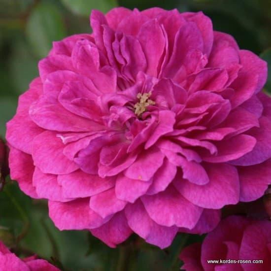 Purple Rain® - Talajtakaró rózsa
