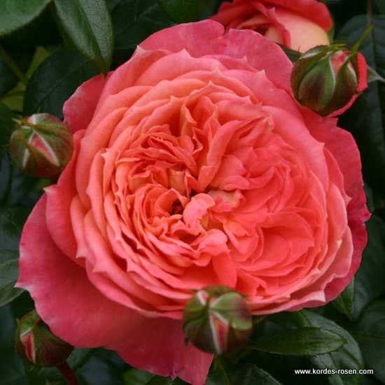 Queen of Hearts® - Floribunda rózsa