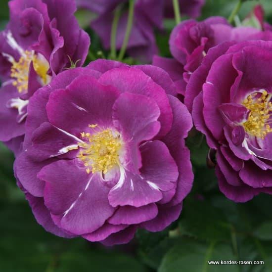 Rhapsody in Blue - Floribunda rózsa