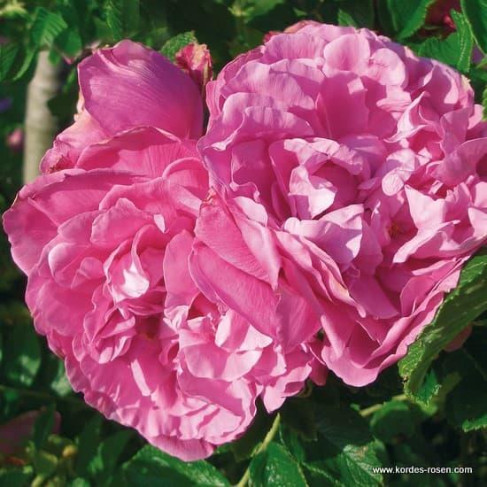Romantic Roadrunner® - Talajtakaró rózsa