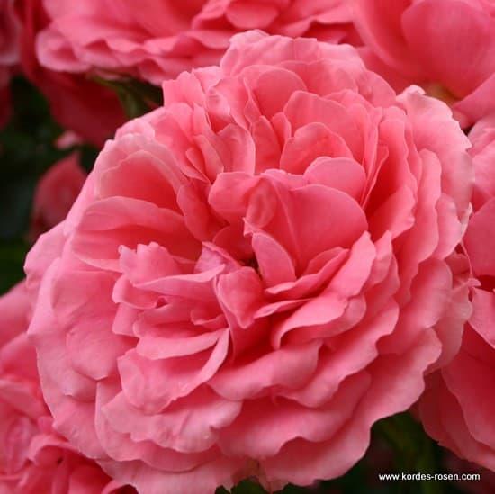 rosarium uetersen a virtu lis roz rium. Black Bedroom Furniture Sets. Home Design Ideas