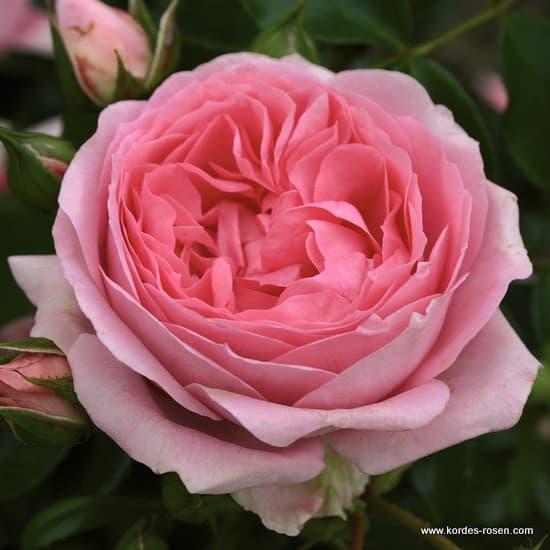 Rosenfee® - Floribunda rózsa