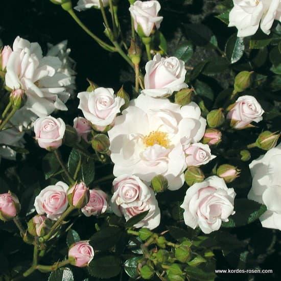 Schneeküsschen® - Miniatűr rózsa