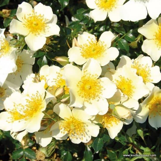 Sonnenröschen® - Miniatűr rózsa