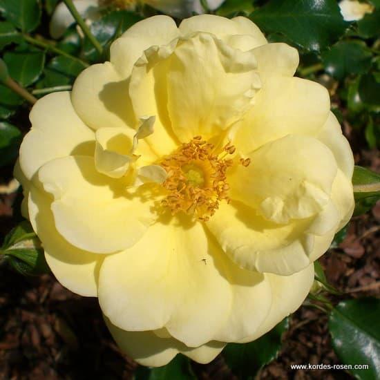 Sunny Rose® - Talajtakaró rózsa