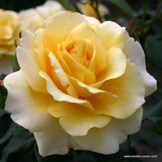 Sunny Sky® - Teahibrid rózsa