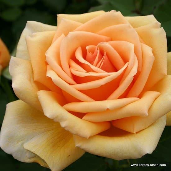 Valencia® - Teahibrid rózsa