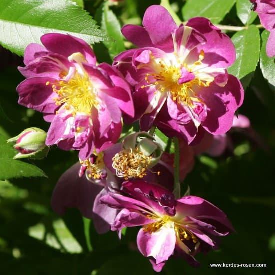 Veilchenblau - Futórózsa