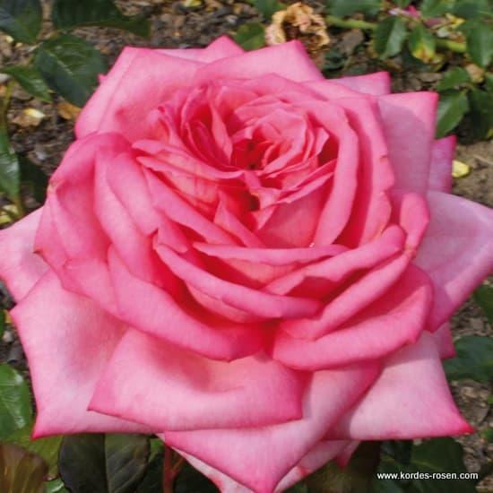 Wedding Bells® - Teahibrid rózsa
